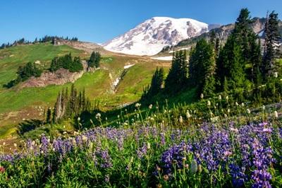 Field of Broadleaf Lupine, Mount Rainier National Park, Washington
